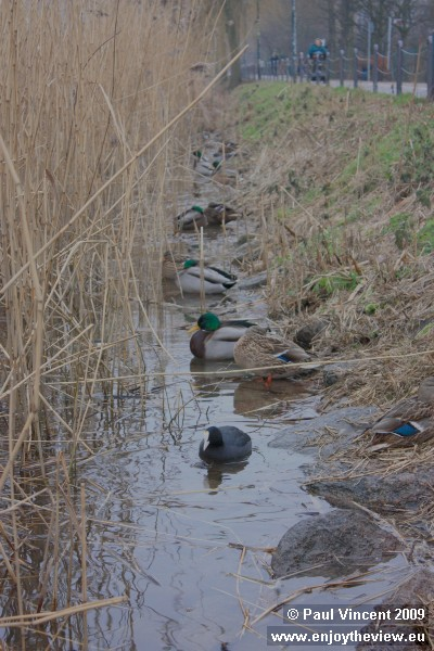Ducks shelter from the freezing wind, at the edge of the Saint Jørgens lake.