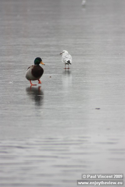 A duck and a seagull stand on the frozen Saint Jørgens lake, a 5-metre deep artificial lake.