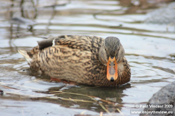 A duck paddles in the freezing water.
