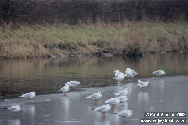 A colony of seagulls. They are standing on a thin sheet of ice, on lake Saint Jørgens.