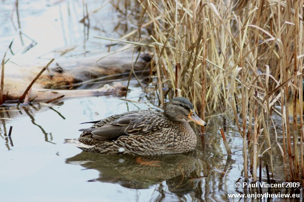 A mallard duck paddles towards the vegetation, to escape the freezing wind.