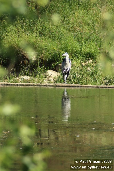 A heron stands on the bank of the Alzette.
