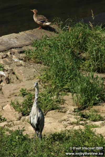 A heron and a duck wait on the bank of the Alzette.