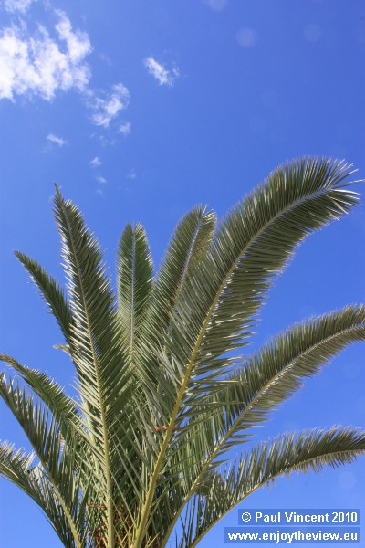 A palm tree in Sousse.