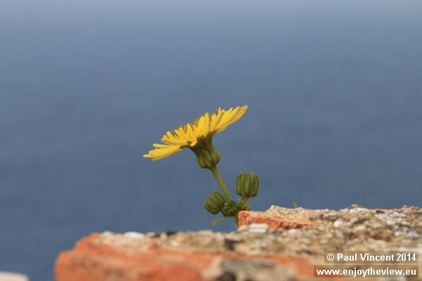 A yellow daisy grows from the walls of Dubrovnik.